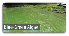 Click here for information about blue-green algae